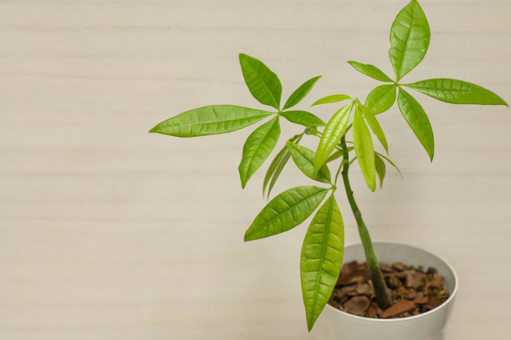 観葉植物パキラ