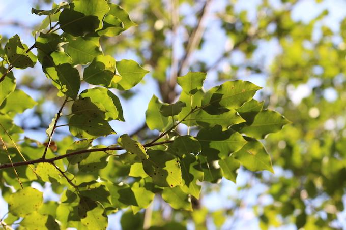 ナラの木の葉