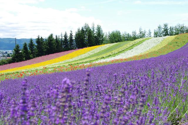 北海道・富良野のラベンダー畑