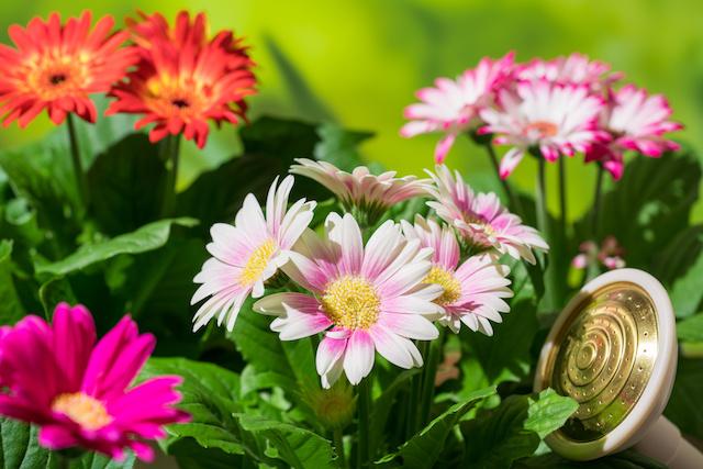 園芸 ガーベラの花