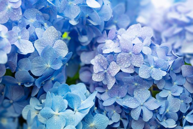 夜露に濡れる紫陽花