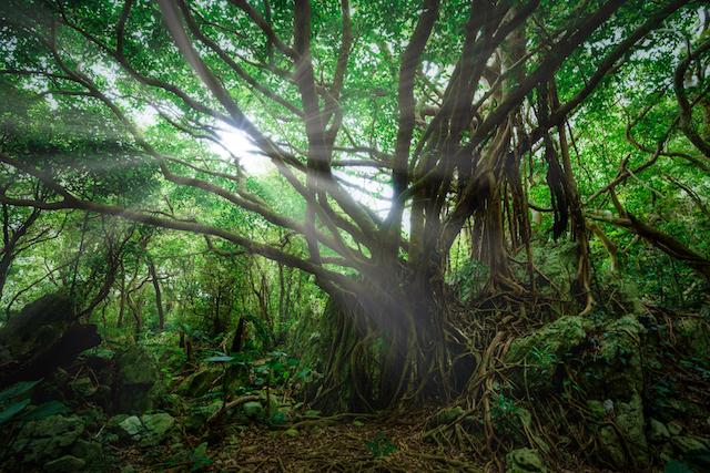 生命力やパワーが宿っているガジュマルの木