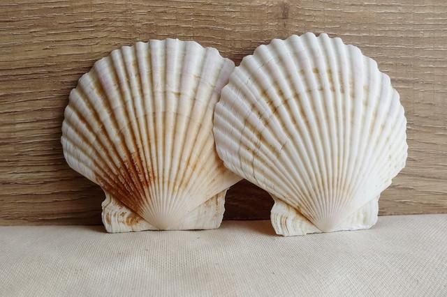 二枚貝の殻