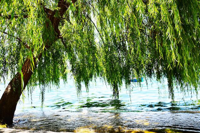 ウイローの木