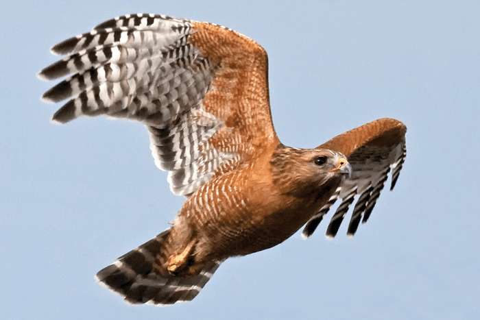Hawk鷹-min